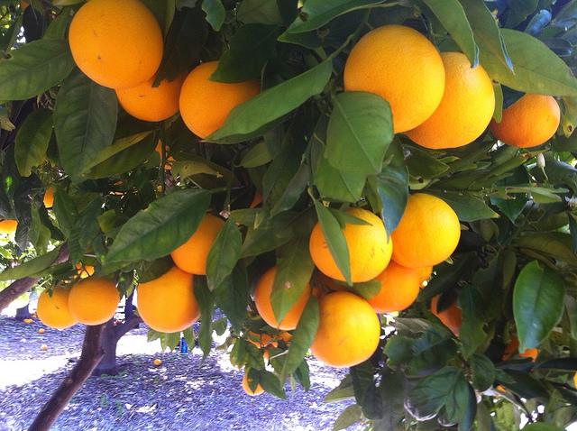 Tree full of fruit