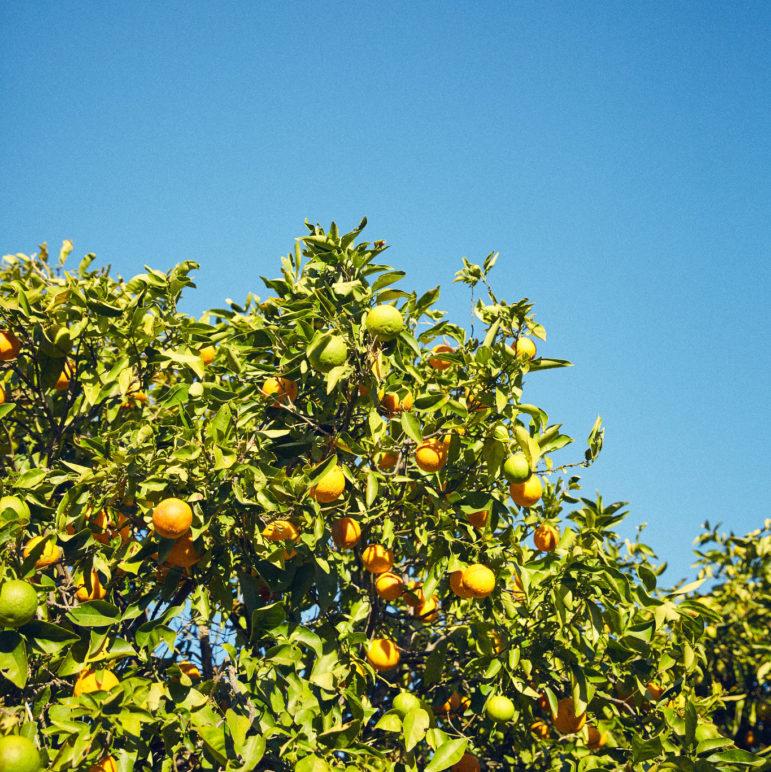 A ripe orange tree