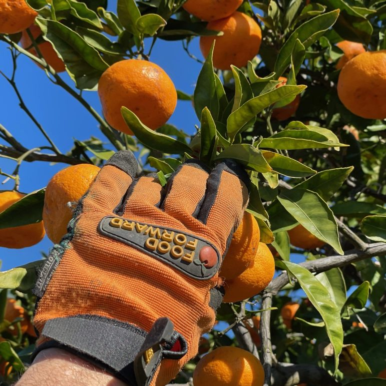 Hand with Food Forward gloves reaches into trees to grab fruit